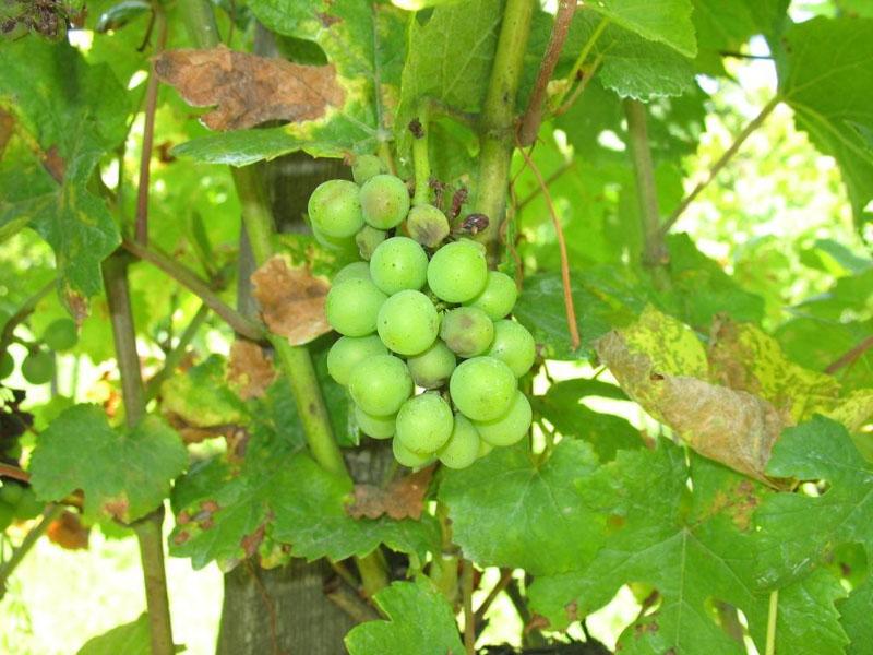peronoszpóra a szőlőn