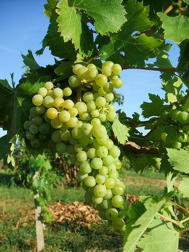 zsendülő szőlő
