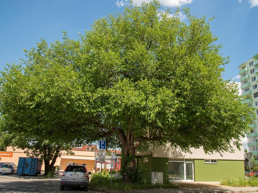 A szenicei eperfa