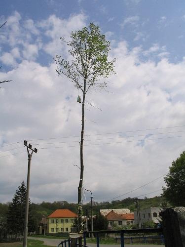 Egy 2008-ban állított májfa. Csáky Károly felvétele