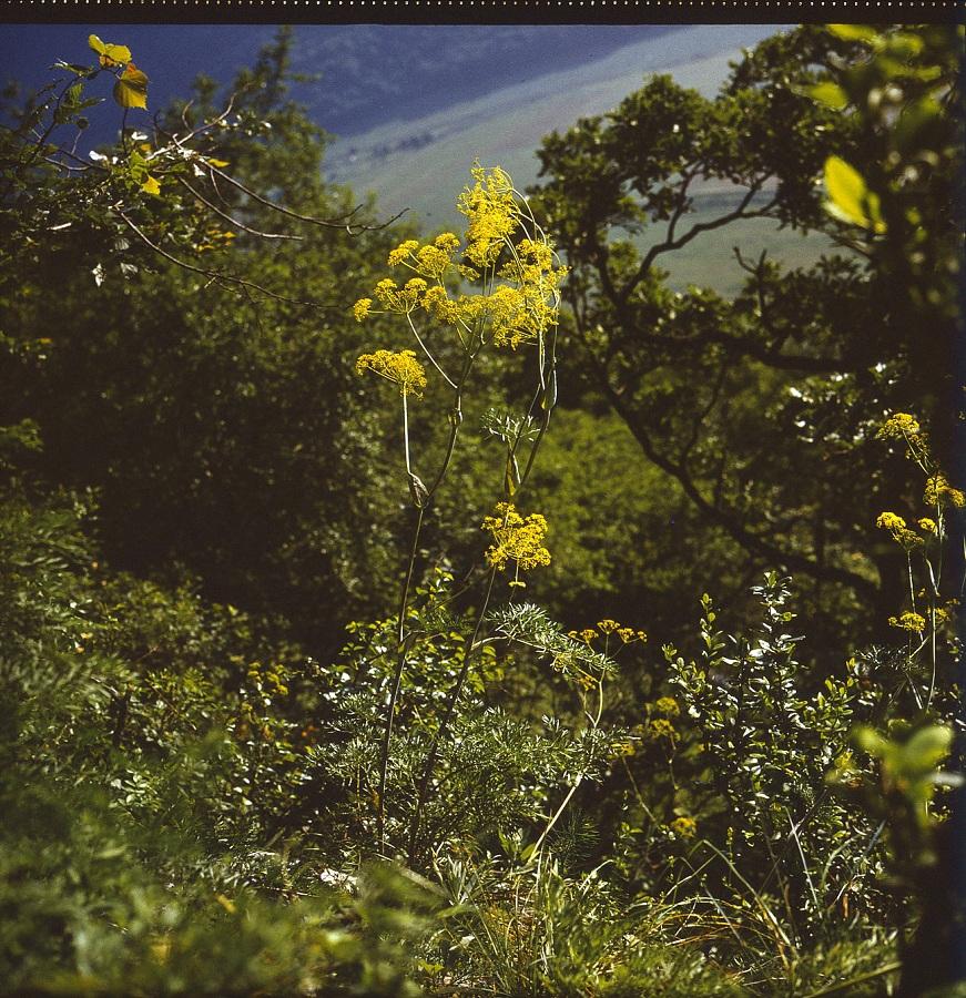 Magyarföldi husáng európa egyik legritkább növénye
