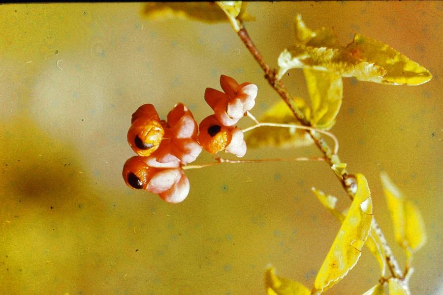 Nem gyöngyfüzér hanem a bibircsós kecskerágó dekoratív termése