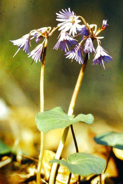 A harang rojt szintén jégkorszaki maradványnövény