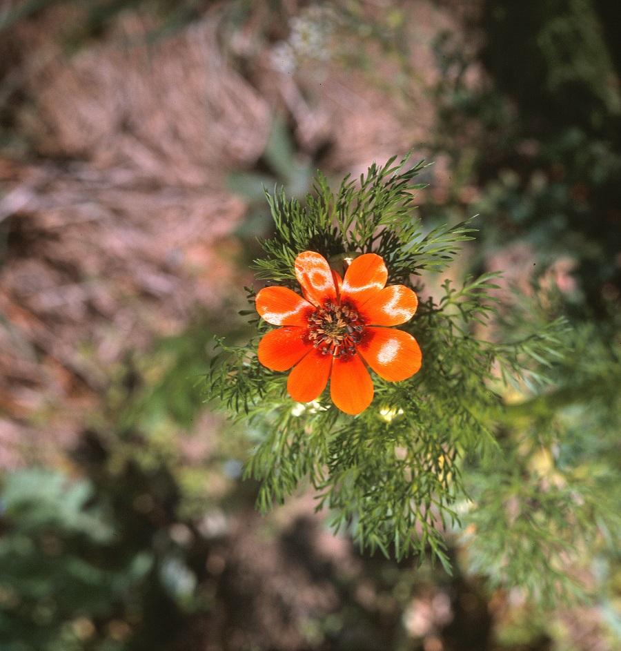 A nyári hérics lángoló virága