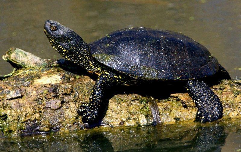 A mocsári teknős eurázsiai elterjedésű állatfaj, Magyarország és a szomszédos területek egyetlen őshonos teknősféléje (Fotó: ertekterkep.com/)