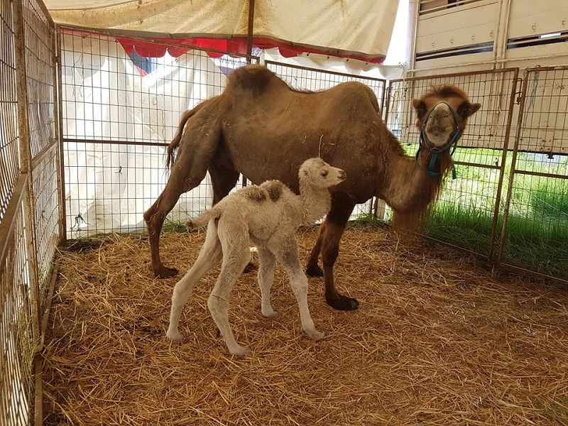 Ametiszt, a kisteve nemrég született, éppen Pozsonyban állomásoztak. Megtekinthető a cirkusz utazó állatkertjében (Fotó: vj)